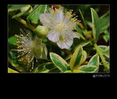 Fiorellini di mirto - Small flowers of myrtle (pabli.) Tags: flowers white flower macro nature yellow nikon natura giallo myrtle fiori 1001nights fiore bianco mirto d60 wow1 myrtuscommunis pablita nikond60 archiloco nikonflickraward 1001nightsmagiccity palastrange