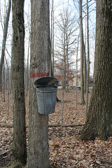 Maple Syrup Festival (moonlitepath) Tags: family trees boy ohio simon leather festival kids pancakes america children maple gun dancing native indian families american scouts cannon council shooting syrup delaware bb whistle branding throwing sap tomahawk kenton delawareo