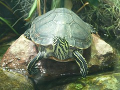 Terrapin by foshie, on Flickr