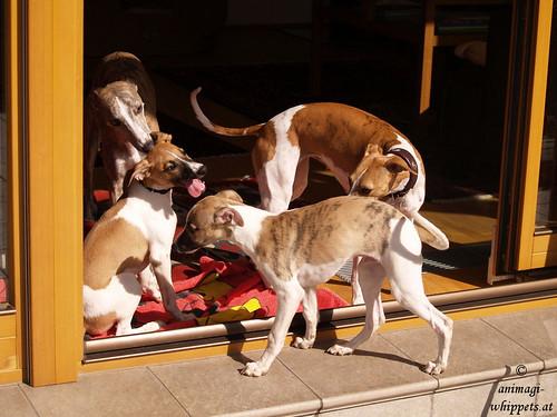Whippets: Oscar, Nisha, Quentin & Peppino