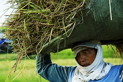 Philippines,Pinoy,Life,harvest farming rice farmer,rural Ormoc, Leyte