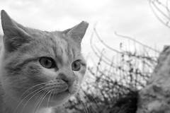 Gatto di Barricata (3) (bellimarco) Tags: sea portrait white black animal cat canon italia mare pussy occhi rosso gatto ritratto pelo scogli mistero rovigo barricata 40d abigfave