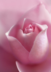 I Dreamt Of A Rose (Philipp Klinger Photography) Tags: pink flower macro up rose 50mm nikon soft close superb blossom bloom nikkor f18 philipp orton d300 klinger raynox aplusphoto great123 dcdead grouptripod