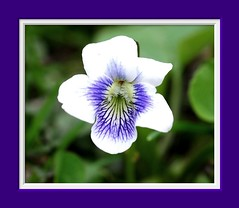 Dainty Penny-Sized White Flower c (vidterry) Tags: fabulous picturesque magicmoments naturesbest enjoylife naturesfinest naturescall mywinners naturephotoshp flowerwatcher betterthangood macroflowerlovers wonderfulworldofflowers earthanditsincredibleanimals nikonflickraward topqualityimageonly naturallymagnificent