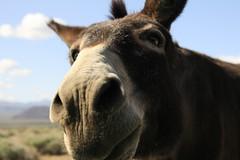 wild mule