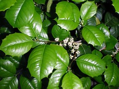 Ilex opaca (maggie_and_her_camera) Tags: holly horticulture johnshopkinshospital americanholly ilexopaca maggieneely