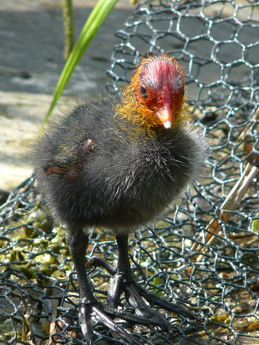 Baby Coot on Albion Channel
