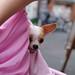 チワワ:Chihuahua_32