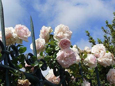 roses et piques.jpg