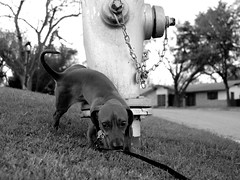 Dog peeing on Fire Hydrant (Robotkiss) Tags: red bw dog pets brown white black 20d grass animals hydrant canon fire hotdog nikon tail 10d urine wienerdog peeing dachshunds 30d dauchsund 50d 40d