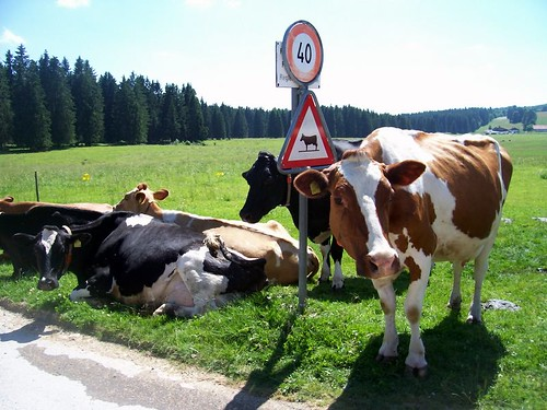 vaches sous le soleil