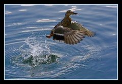 duck jump up  (zell am see 2008) (mohammad khorshid (boali)) Tags: lake bird austria duck sigma kuwait zellamsee 2008 q8  mohd kwt    70300apo