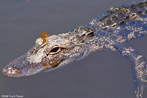 Gator4_20080705
