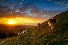 Glastonbury (Andras Jancsik) Tags: uk greatbritain sunset england rural cows glastonbury magical worldsartgallery