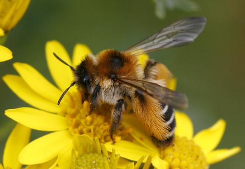 Apidae Bees Wild Hastings