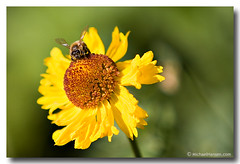Bzzzzzz (Windwalker Images) Tags: bee wildflower blackeyedsusan sequoianationalpark