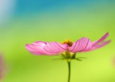 la coupe (Oxygene | Photo+Design) Tags: summer flower macro fleurs bokeh 2008 annuelle cosmos macroflowerlovers mjdphoto