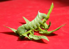 Tomato Cutworm (ErinAB (ern the ferle)) Tags: plant green bug tomato insect picasa cutworm tomatocutworm