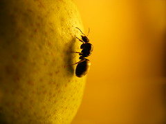 Lasius niger queen on Pear (1)