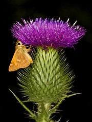 Moth and Thistle (Mimi Ditchie) Tags: macro getty gettyimages onblack mywinners abigfave anawesomeshot colorphotoaward ultimateshot isawyoufirst theunforgettablepictures macromarvels theperfectphotographer goldstaraward mimiditchie