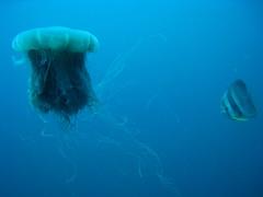 Lion's Mane Jellyfish (which stung me) & Batfish at Seven Skies