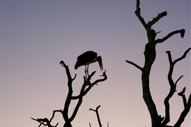 day 10: H4-1 LS morning drive: marabou stork