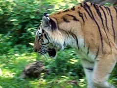 Bronx Zoo - Amur Tiger (fkalltheway) Tags: tiger bronxzoo tigermountain pantheratigrisaltaica amurtiger fkalltheway flickrbigcats
