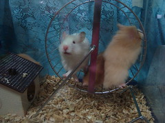 DSC01995 (prudencemadness) Tags: hamsters