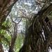 The banyan tree in Hilo