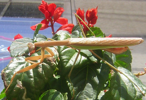 Praying mantis on scarlet sage