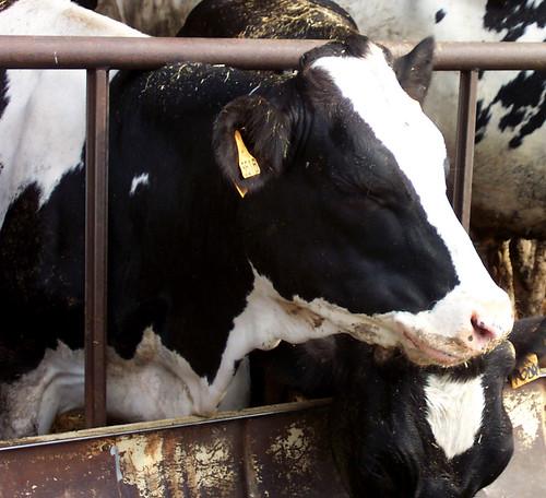Tessa la mucca