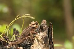 species: Brookesia perarmata. Antsingy Leaf Chameleon - Exotic Reserve Peyrieras, Madagascar