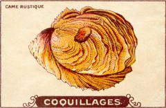 coquillages9