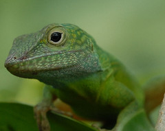 Staring at you (Jamdowner) Tags: reptile lizard jamaica trelawny goodhope anniversary2006 goodhopenov2006