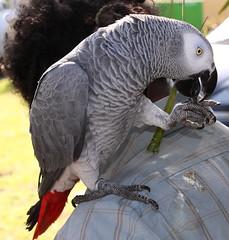 Perroquet (BAMB 974) Tags: rouge gris bec blanc oiseau plumes bague perroquet laréunion griffes îledelaréunion mywinners abigfave grisdugabon crochu goldstaraward