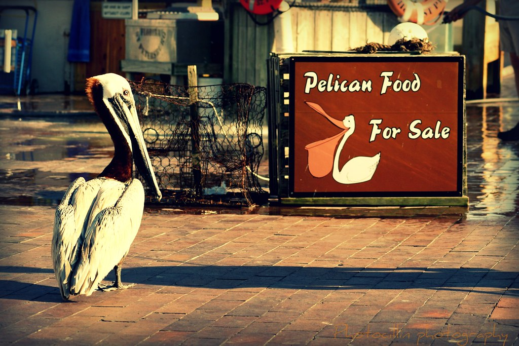 Patient Pelican in Pole Position