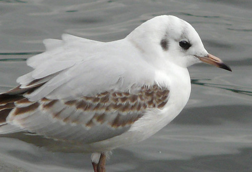 Immature black headed gull