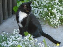 Spooks posing with flowers (GeminEye27) Tags: cat tuxedo spooks
