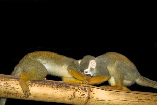 Squirrel Monkeys at play