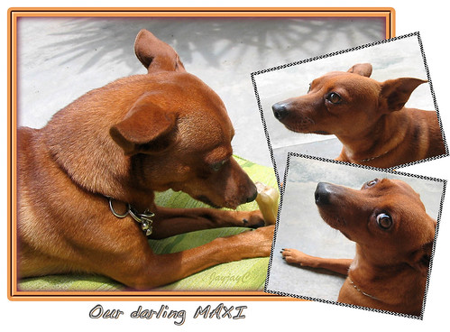 Another photo collage of Maxi, our 4 year-old miniature pinscher