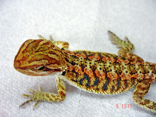 fire and ice bearded dragon babys pics - Reptile Forums