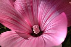 Illumination (Sarah Hamilton) Tags: pink flower macro closeup mallow magical hdr supershot flowerscolors instantfave colorphotoaward flowerpicturesnolimits onlythebestare flowerwatcher eliteimages colourartaward excapture themacrogroup awesomeblossoms cffaa