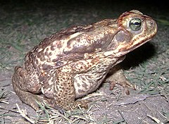 CURURU TOAD (Rhinella schneideri) sapo buey (240 x 176) Original= (2614 x 1921) (turdusprosopis) Tags: toads toad corrientes rococo bufo crapaud bufonidae crapauds cururú bufoschneideri wildherps sapobuey bufoparacnemis bufos rhinellaschneideri cururutoad argentineherps herpsofargentina argentinasherps amphibiansofargentina argentineamphibians argentinasamphibians anfibiosdeargentina anfibiosdelaargentina anfibiosargentinos anfibiosdeuruguay anfibiosdeluruguay anfibiosuruguayos anfibiosparaguayos anfibiosdeparaguay anfibiosdelparaguay amphibiansofuruguay uruguayanamphibians uruguaysamphibians amphibiansofparaguay paraguayanamphibians paraguaysamphibians uruguayanherps herpsofuruguay uruguaysherps paraguayanherps herpsofparaguay paraguaysherps cururutoads toadgiant toadschneiders sapocururú bufónidos saporococó sapodeschneider chaunusschneideri rhinellaparacnemis chaunusparacnemis