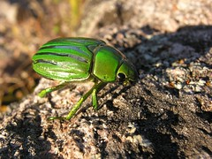 Jewel Scarab (Langooney) Tags: beetle jewelscarab chrysina