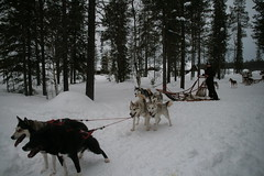 IMG_1416 (c240amg) Tags: snow finland skiing huskie ylls