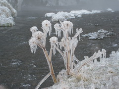 Frozen flowers (fredje77) Tags: flowers white water frozen iceland lpwinter