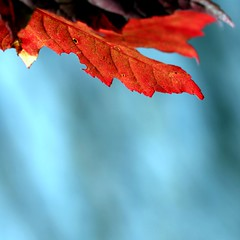 Nature chose the highest contrast (Maureen F.) Tags: life blue autumn red fall nature water contrast leaf maple bokeh infinestyle top20autumn saariysqualitypictures