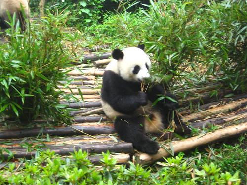 Pandas Going Extinct Natural Selection
