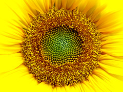 Tournesol, ou grand soleil, Helianthus annuus, Monthodon, France 2008 (Baloulumix) Tags: friends color macro art nature fleur plante photography photo julien photographie couleurs jardin beaut zen   couleur  photographe              jardinzen   jardinplante baloulumix    fourniol fournioljulien julienfourniol