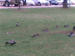ANU ducks 2